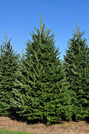 Fraser Fir Christmas Trees - Wholesale Fraser Firs