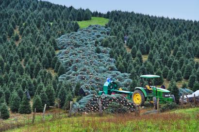 Fraser Fir Christmas Trees Wholesale Fraser Firs - Christmas Tree Seedlings